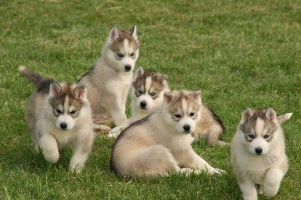 Chiots siberians huskys disponible