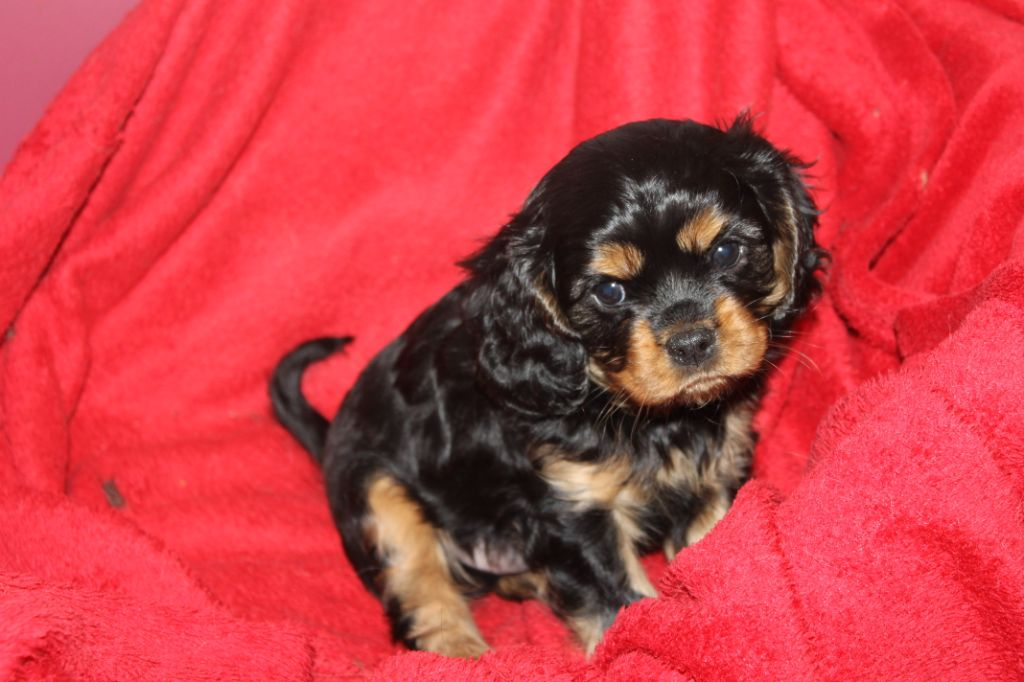 Adorable chiot cavalier King Charles Femelle